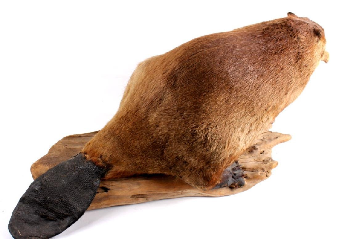 Full Body Beaver Taxidermy Mount - 4