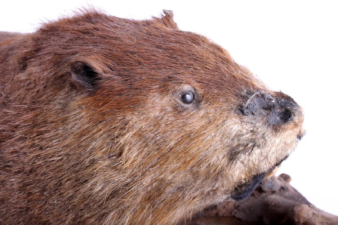 Full Body Beaver Taxidermy Mount - 5