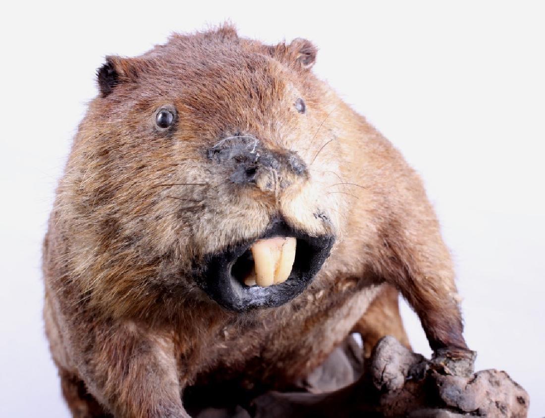 Full Body Beaver Taxidermy Mount - 6