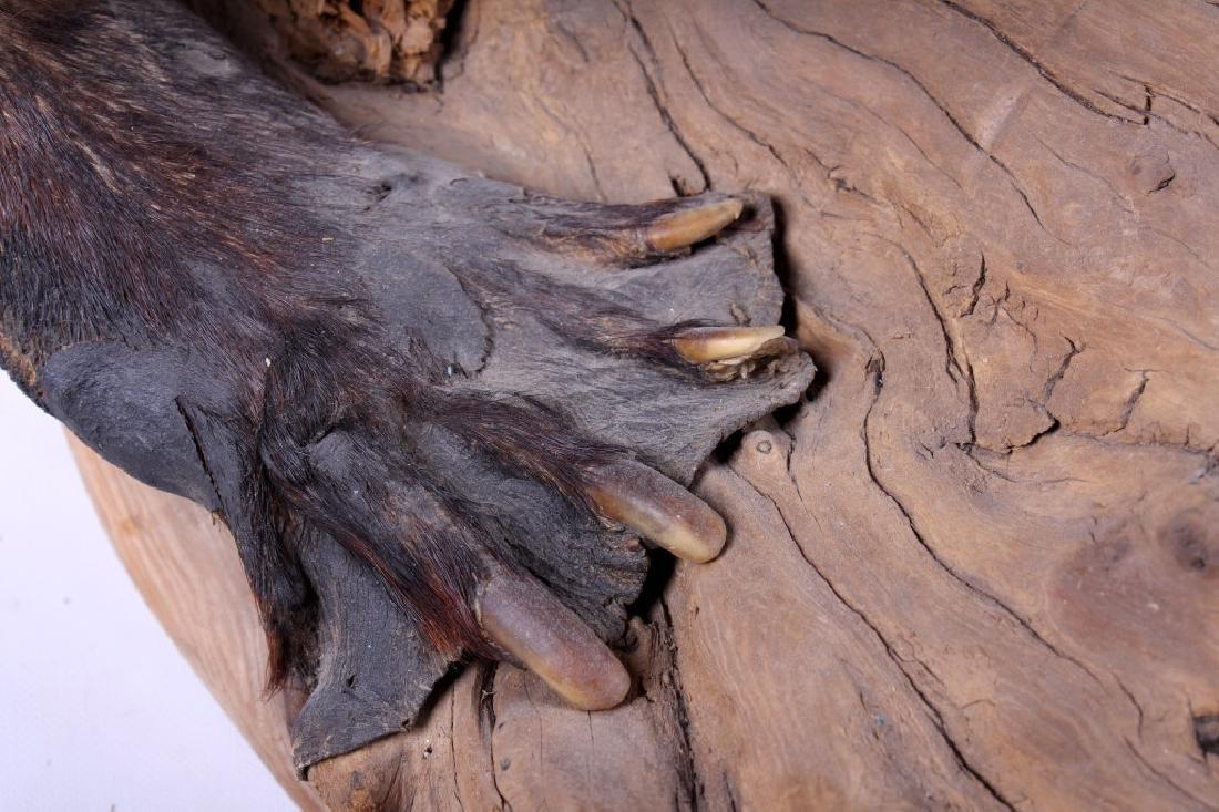 Full Body Beaver Taxidermy Mount - 8