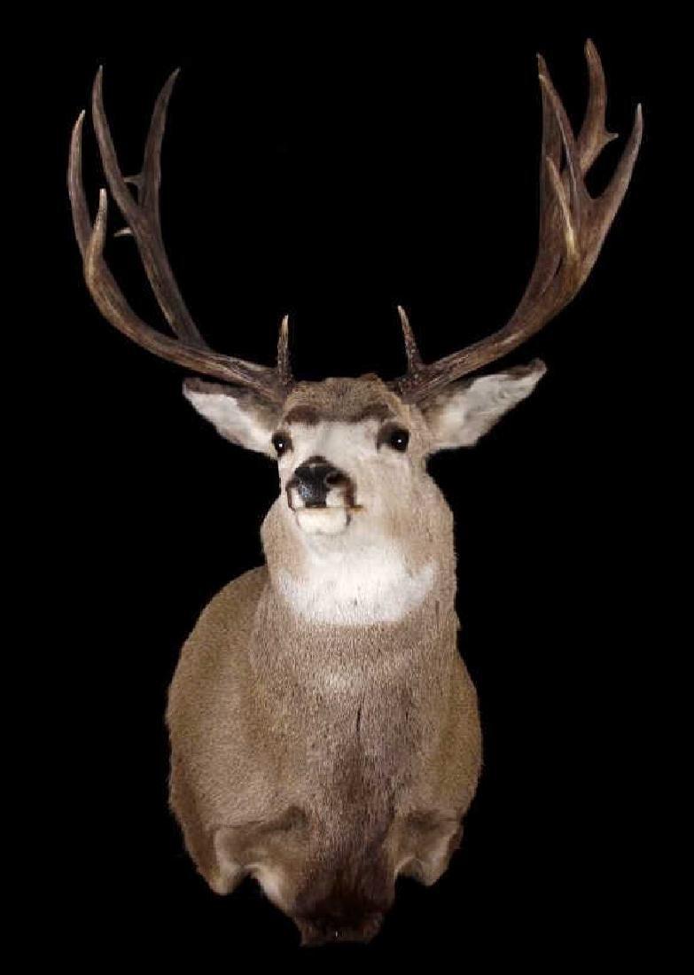 Montana Mule Deer Taxidermy Shoulder Mount