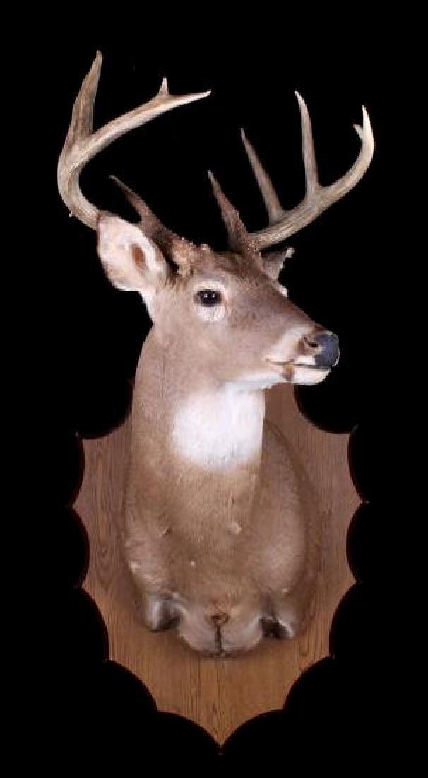 Montana Whitetail Deer Shoulder Trophy Mount