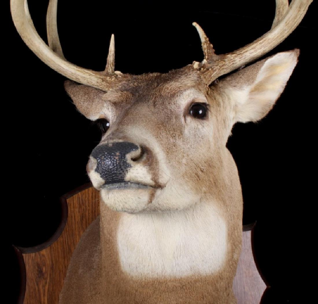 Montana Whitetail Deer Shoulder Trophy Mount - 3