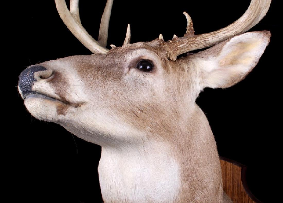 Montana Whitetail Deer Shoulder Trophy Mount - 6