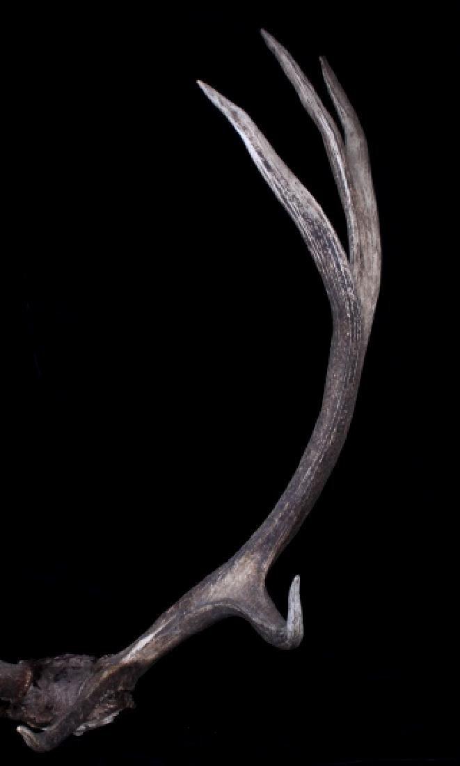 Montana Rocky Mountain Royal Elk European Mount - 5