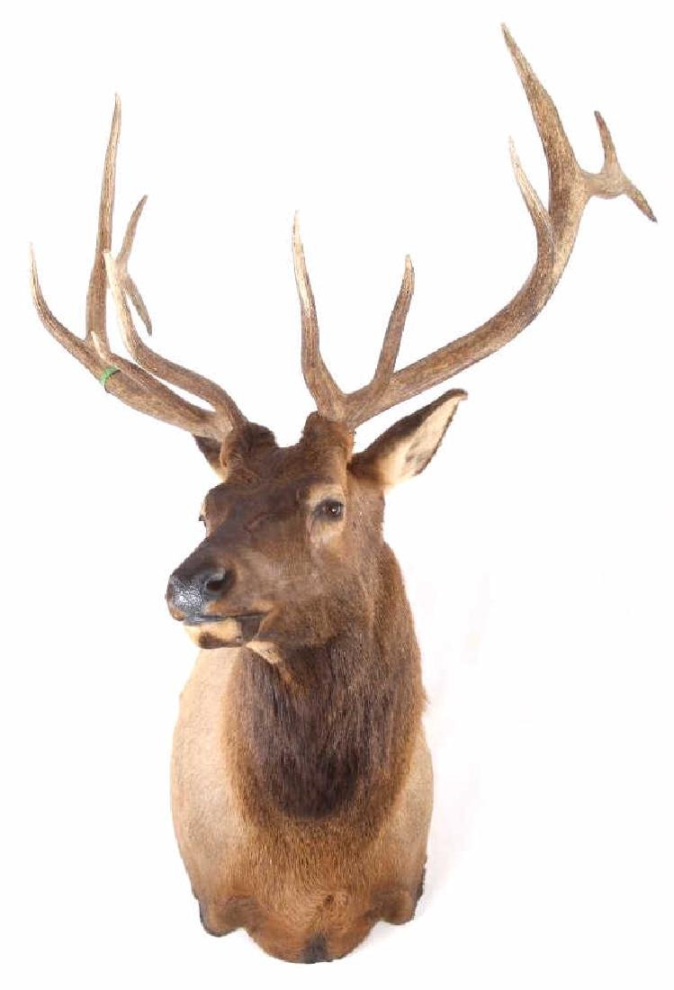 WY Rocky Mountain 6x6 Royal Elk Shoulder Mount