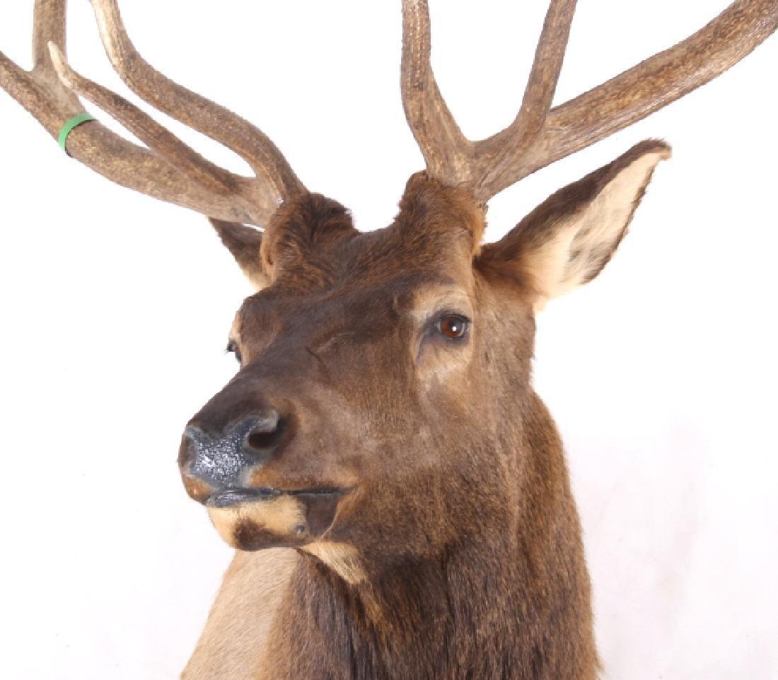 WY Rocky Mountain 6x6 Royal Elk Shoulder Mount - 2