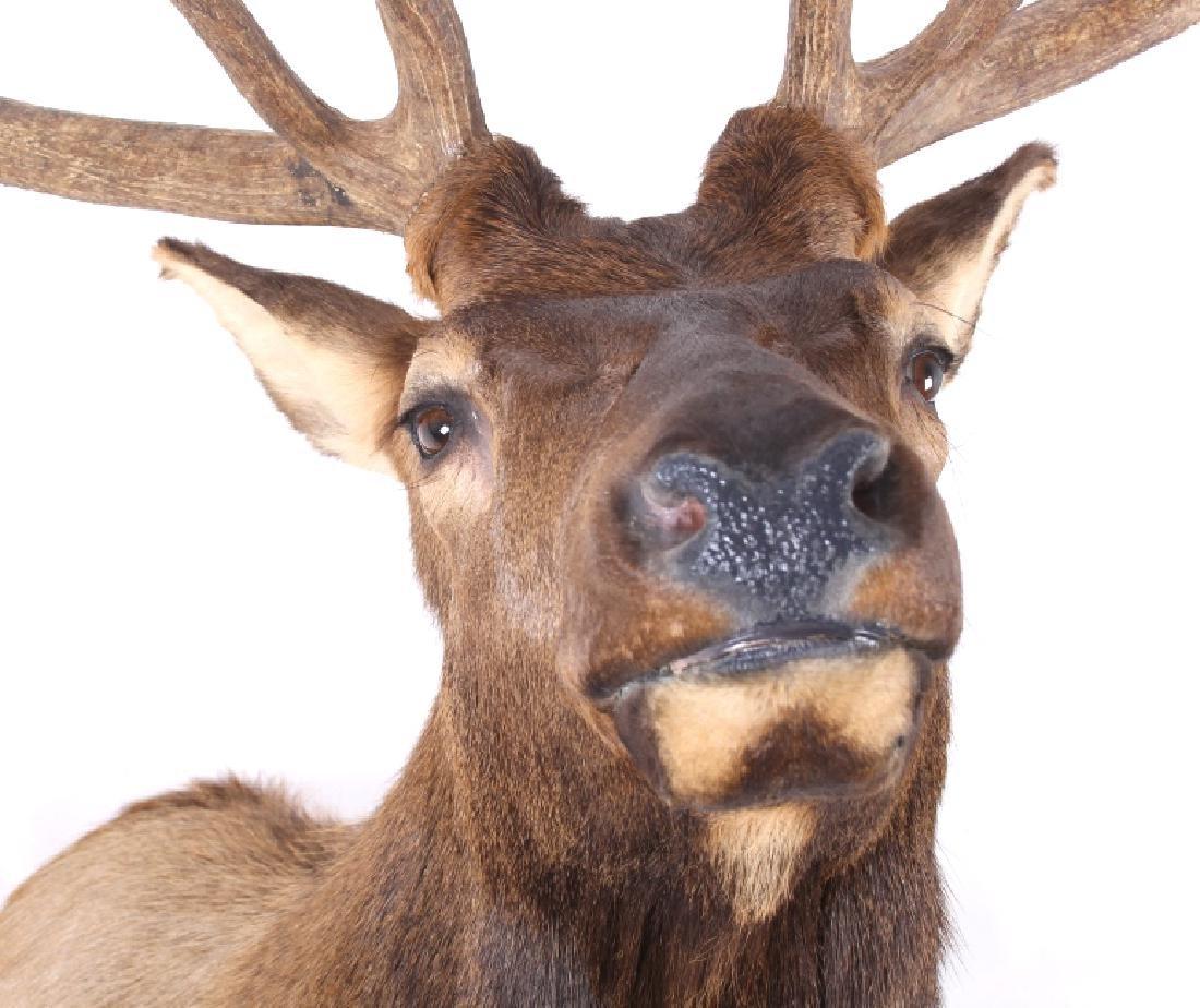 WY Rocky Mountain 6x6 Royal Elk Shoulder Mount - 4