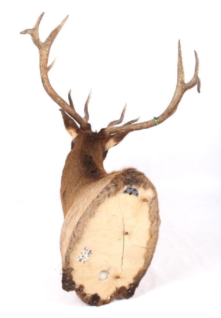 WY Rocky Mountain 6x6 Royal Elk Shoulder Mount - 6
