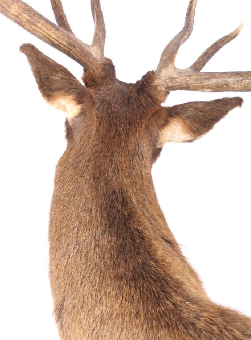 WY Rocky Mountain 6x6 Royal Elk Shoulder Mount - 7