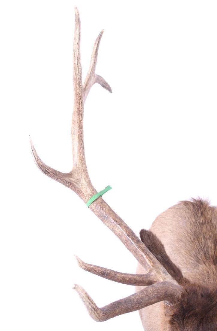 WY Rocky Mountain 6x6 Royal Elk Shoulder Mount - 8