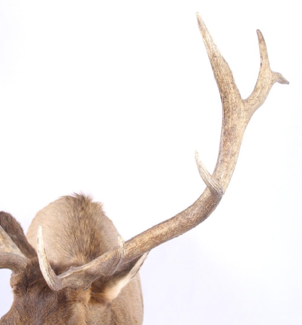 WY Rocky Mountain 6x6 Royal Elk Shoulder Mount - 9