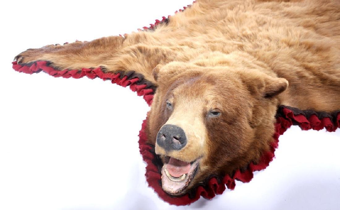 Montana Cinnamon Black Bear Taxidermy Trophy Rug - 2