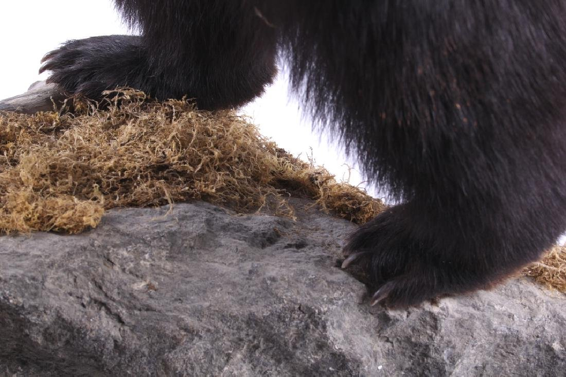 Full Black Bear Taxidermy Trophy Mount - Alberta - 10