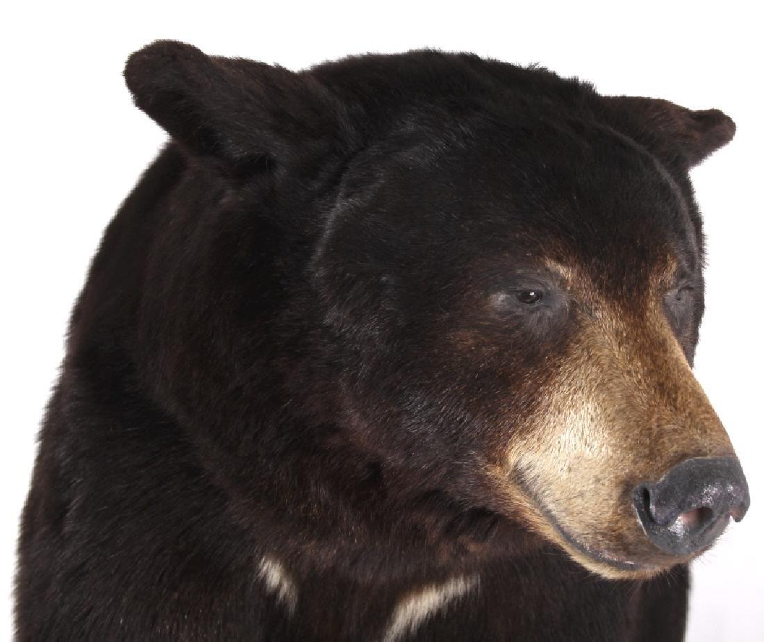 Full Black Bear Taxidermy Trophy Mount - Alberta - 11