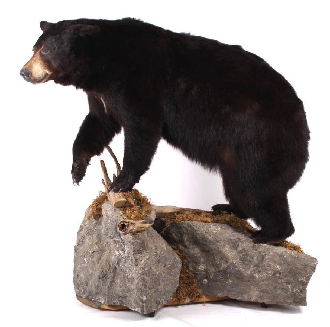 Full Black Bear Taxidermy Trophy Mount - Alberta