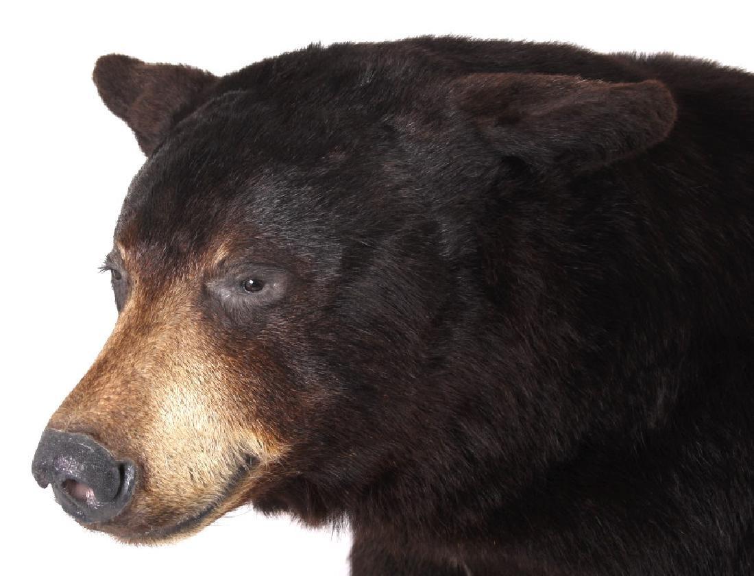 Full Black Bear Taxidermy Trophy Mount - Alberta - 4