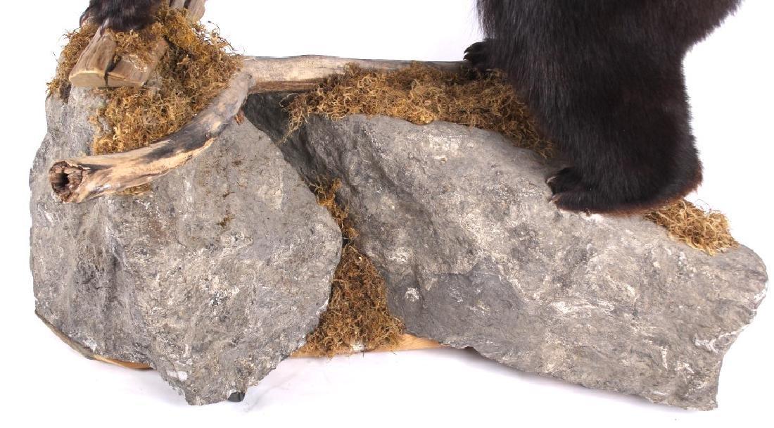 Full Black Bear Taxidermy Trophy Mount - Alberta - 5