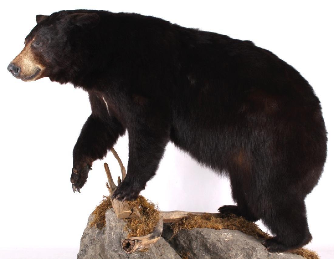 Full Black Bear Taxidermy Trophy Mount - Alberta - 6