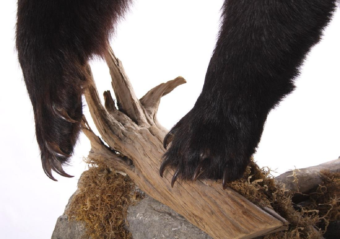 Full Black Bear Taxidermy Trophy Mount - Alberta - 7
