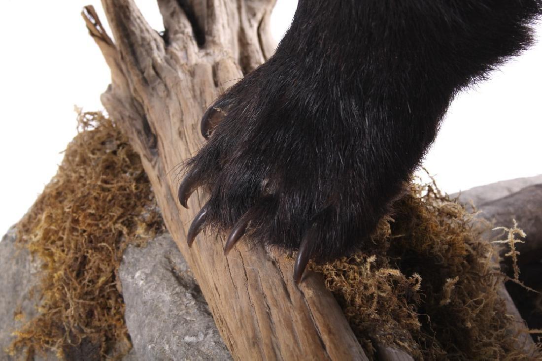 Full Black Bear Taxidermy Trophy Mount - Alberta - 8