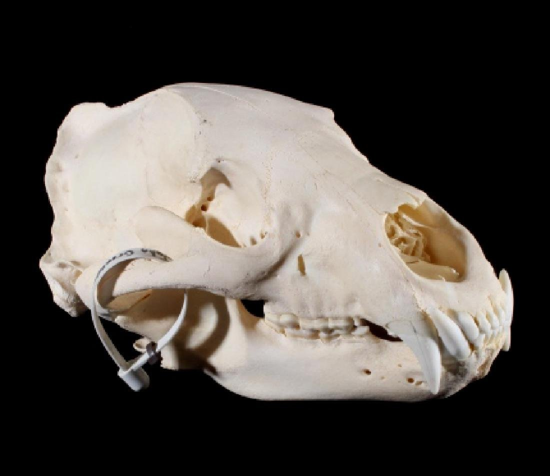 Black Bear Taxidermy Skull - Alberta, Canada