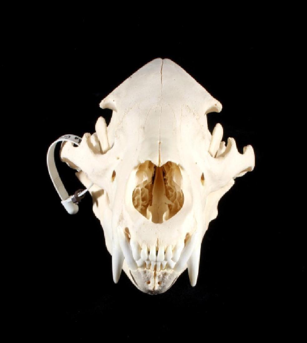 Black Bear Taxidermy Skull - Alberta, Canada - 3