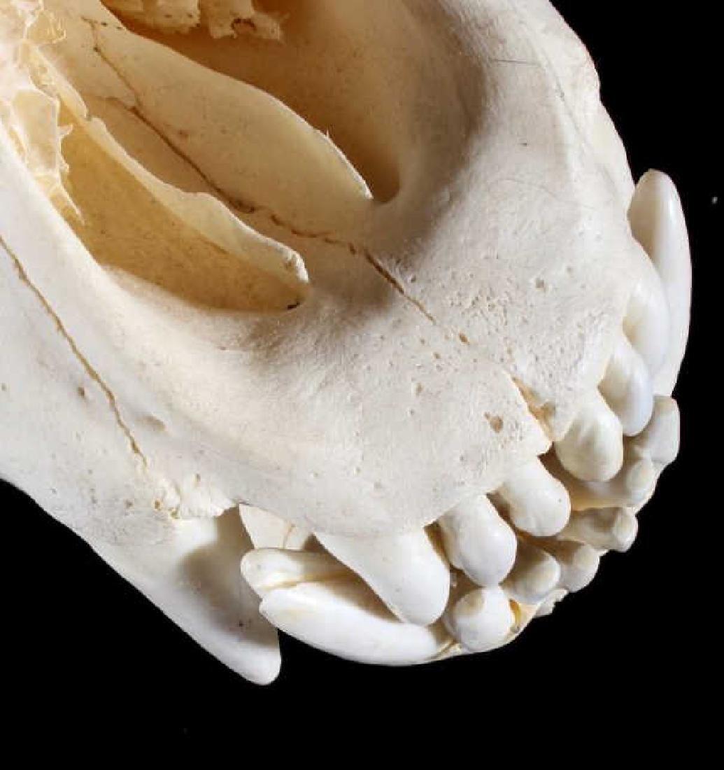 LARGE Alaskan Grizzly Bear Skull- Aleutian Islands - 10