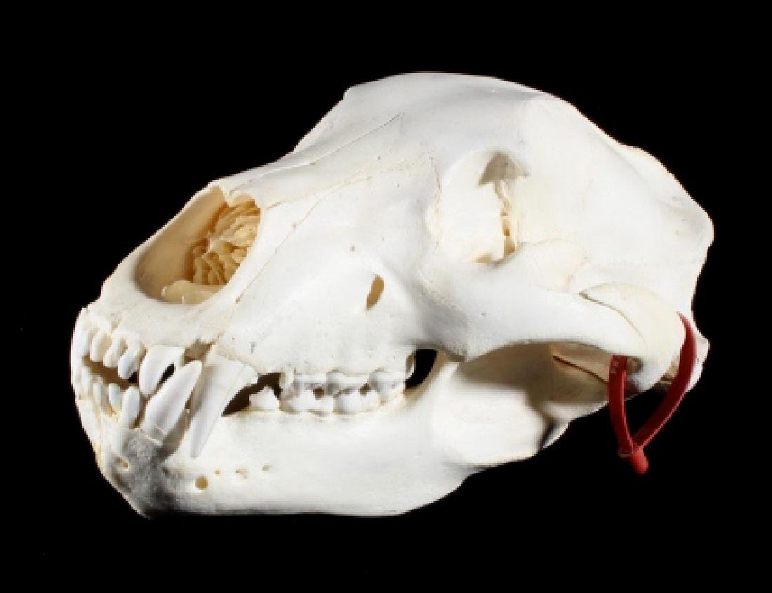 LARGE Alaskan Grizzly Bear Skull- Aleutian Islands