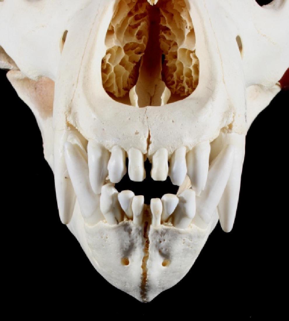 LARGE Alaskan Grizzly Bear Skull- Aleutian Islands - 4