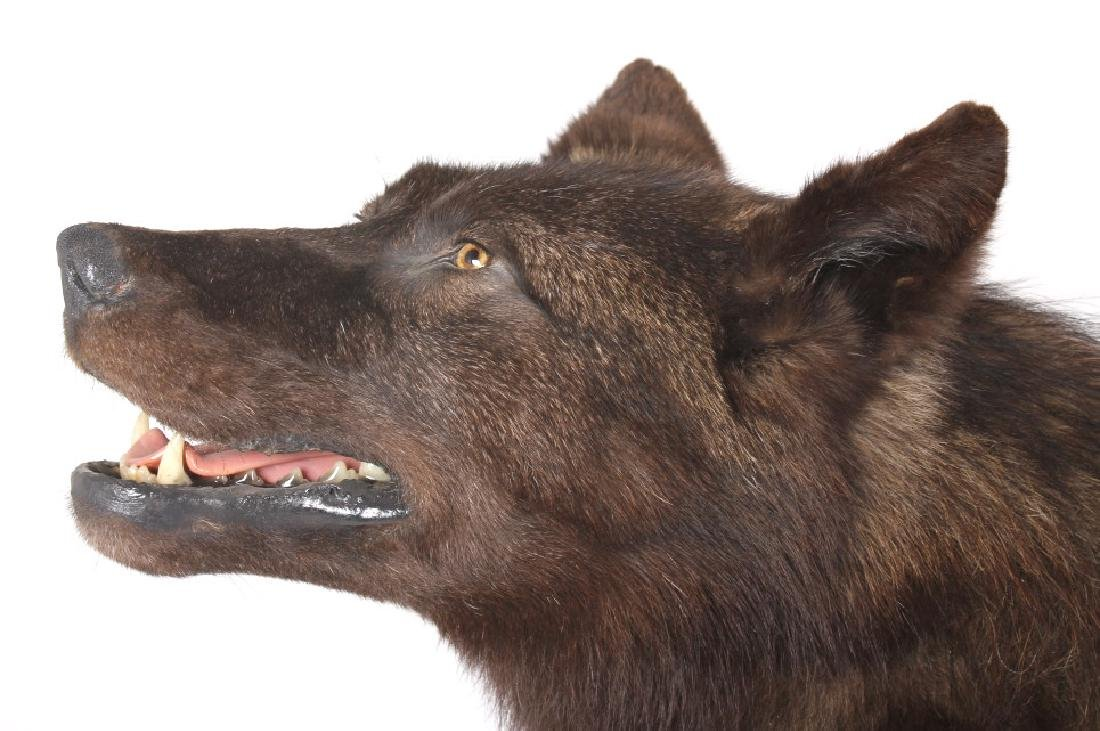 Montana Trophy Black Wolf Full Taxidermy Mount - 10