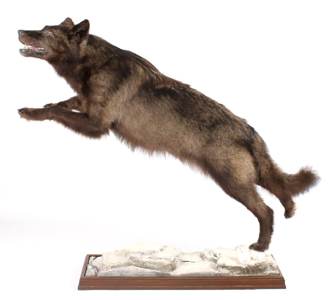 Montana Trophy Black Wolf Full Taxidermy Mount - 3