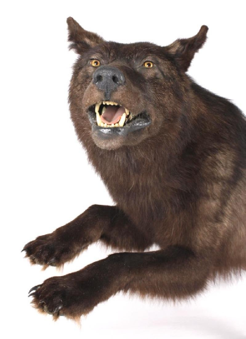 Montana Trophy Black Wolf Full Taxidermy Mount - 4