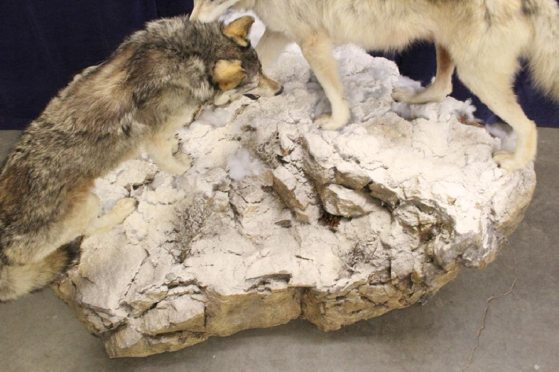 Montana Timber Wolves Taxidermy Mountain Scene - 11