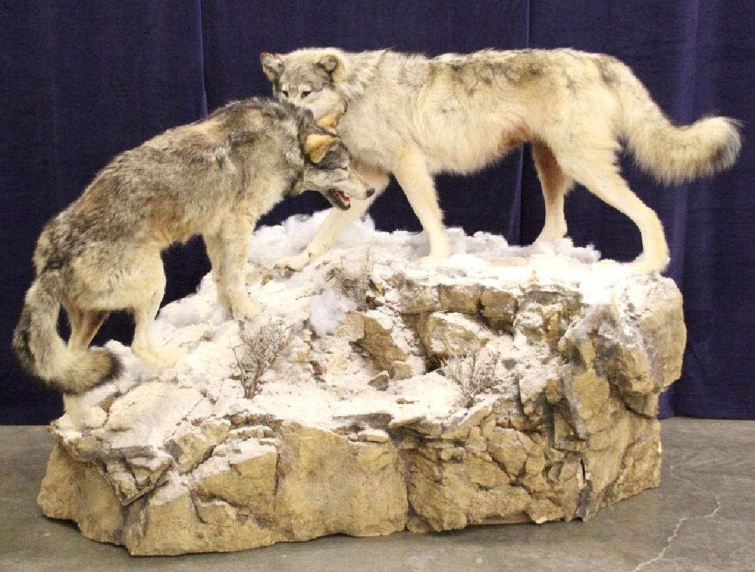 Montana Timber Wolves Taxidermy Mountain Scene
