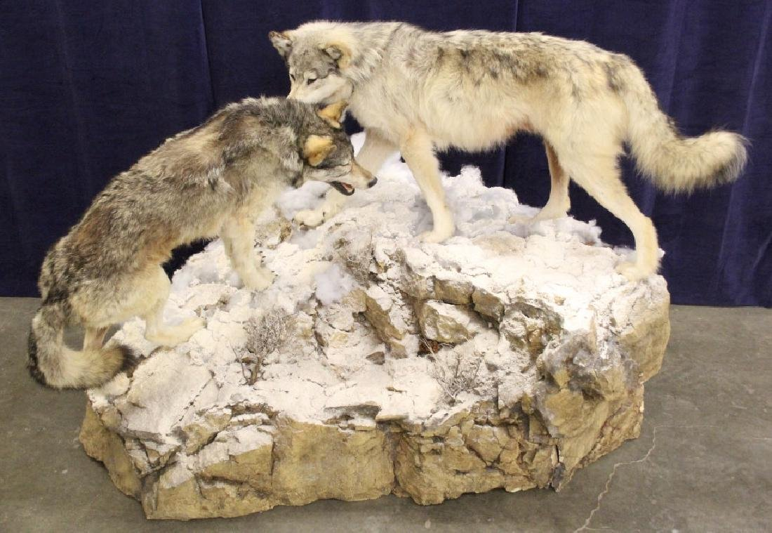 Montana Timber Wolves Taxidermy Mountain Scene - 2