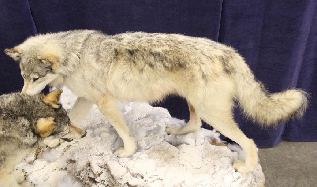 Montana Timber Wolves Taxidermy Mountain Scene - 3