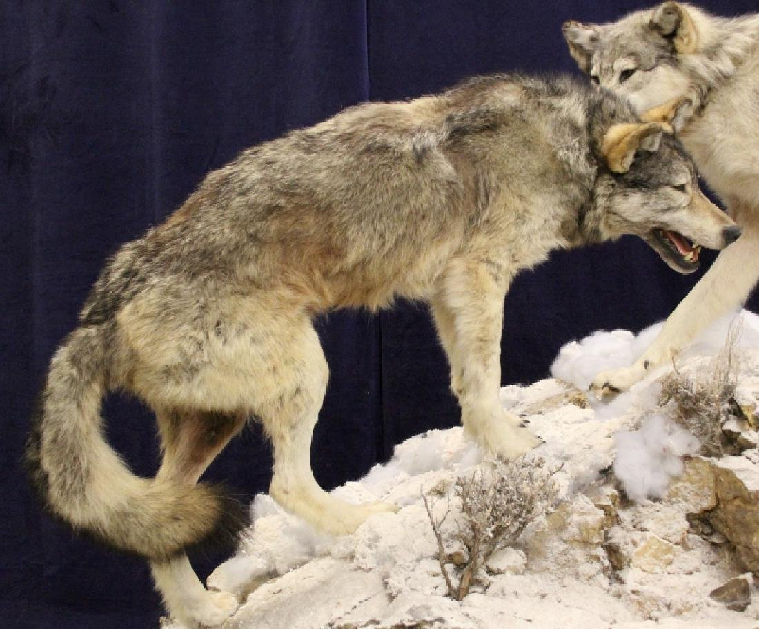 Montana Timber Wolves Taxidermy Mountain Scene - 4