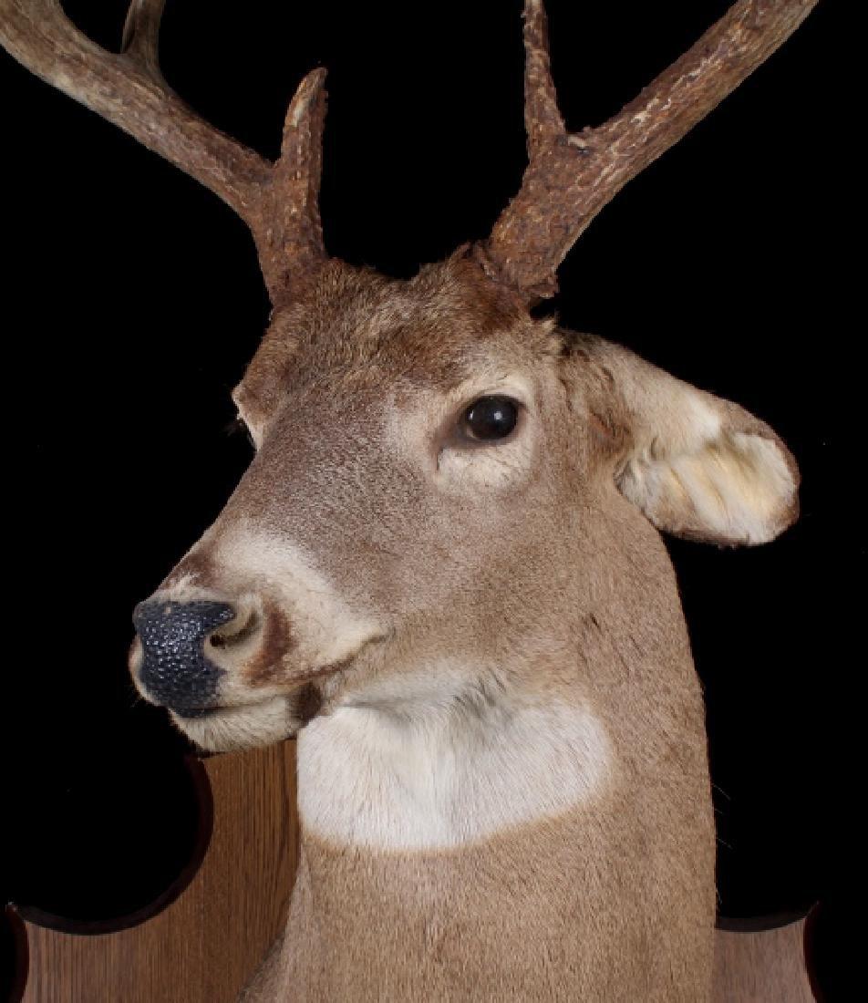 Montana Whitetail Deer Shoulder Mount - 4