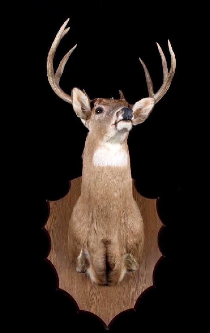 Montana Whitetail Deer Shoulder Mount