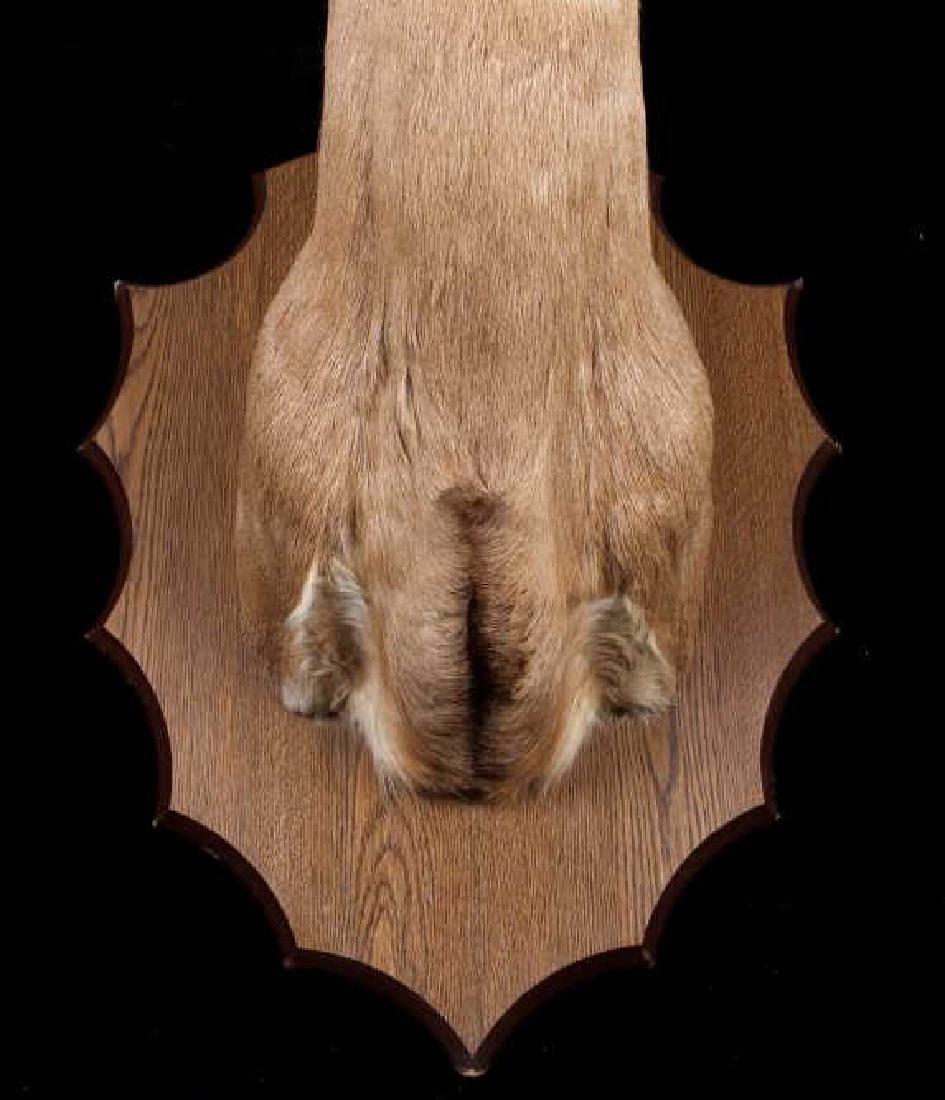 Montana Whitetail Deer Shoulder Mount - 2