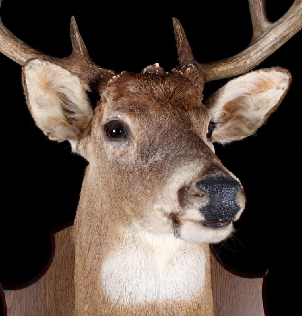 Montana Whitetail Deer Shoulder Mount - 3