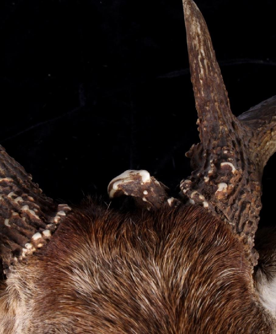 Montana Whitetail Deer Shoulder Mount - 6