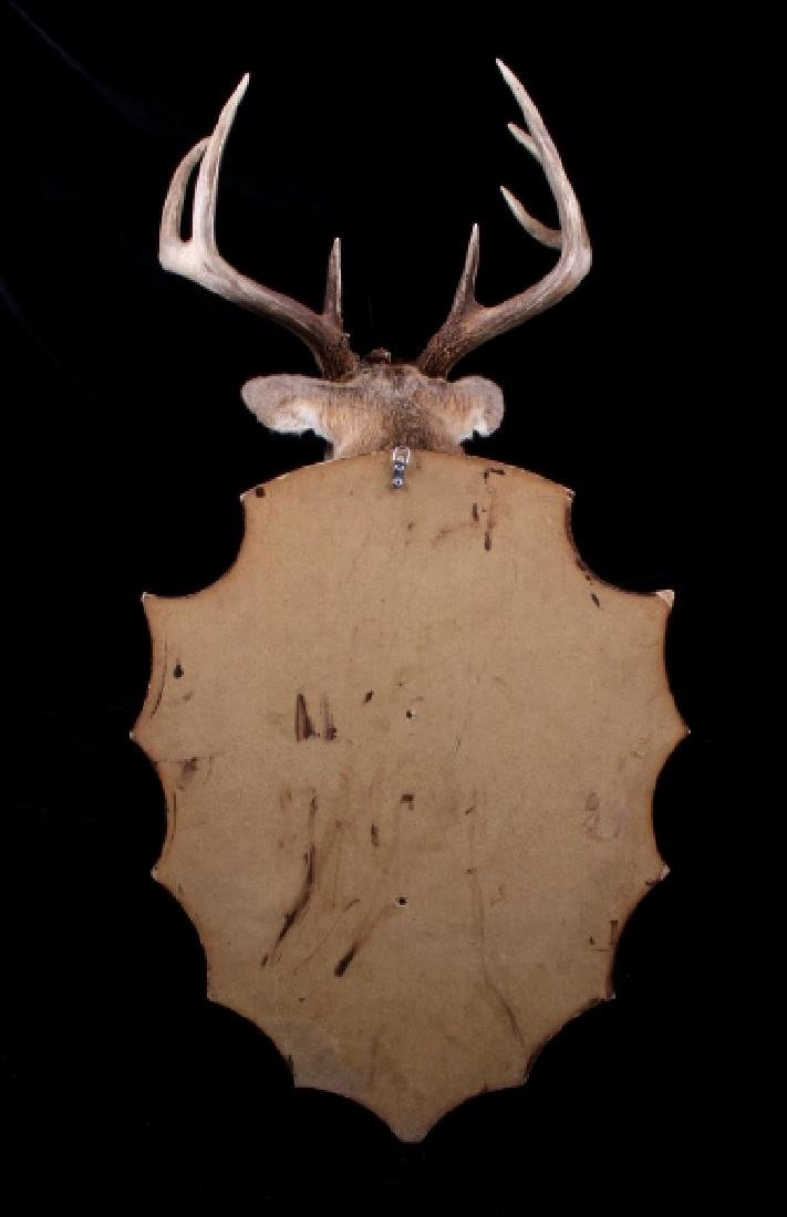 Montana Whitetail Deer Shoulder Mount - 7
