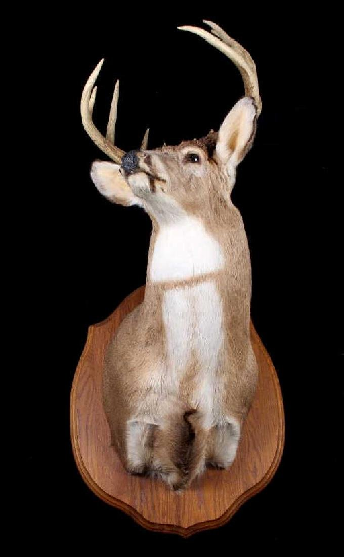 Montana Whitetail Deer Shoulder Trophy Mount