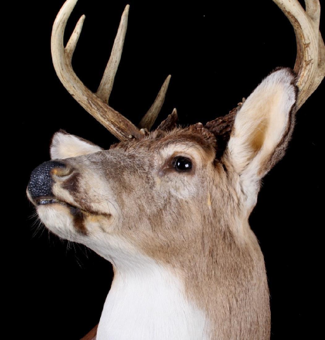 Montana Whitetail Deer Shoulder Trophy Mount - 4