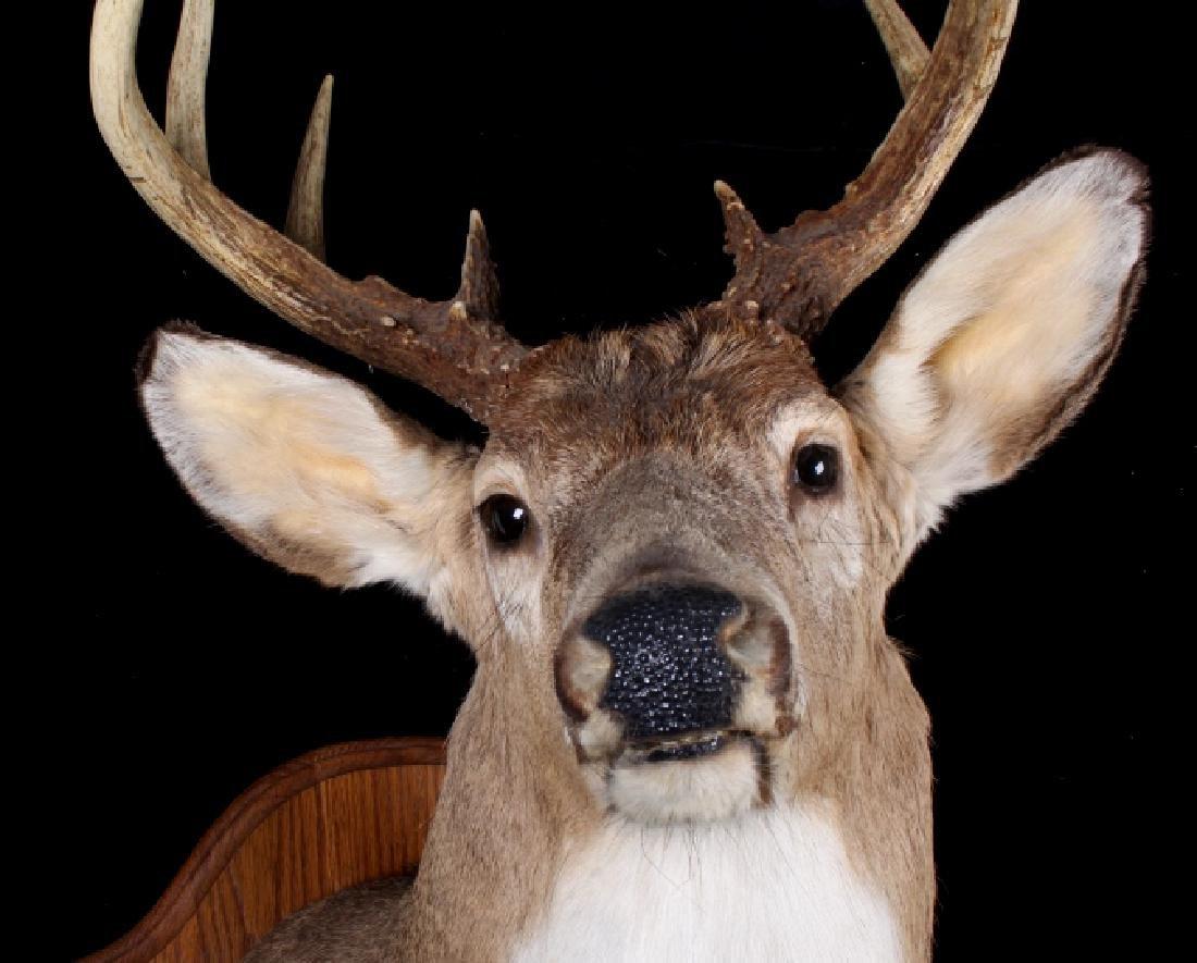 Montana Whitetail Deer Shoulder Trophy Mount - 8