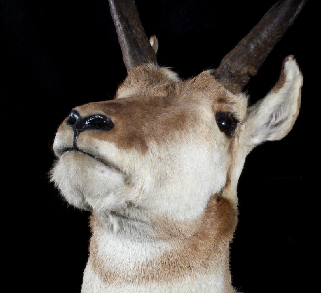 Montana Pronghorn Taxidermy Trophy Shoulder Mount - 5