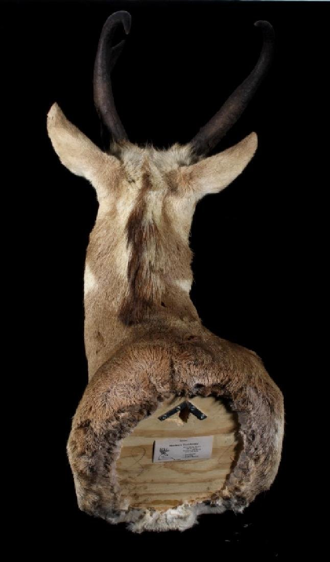 Montana Pronghorn Taxidermy Shoulder Mount - 9
