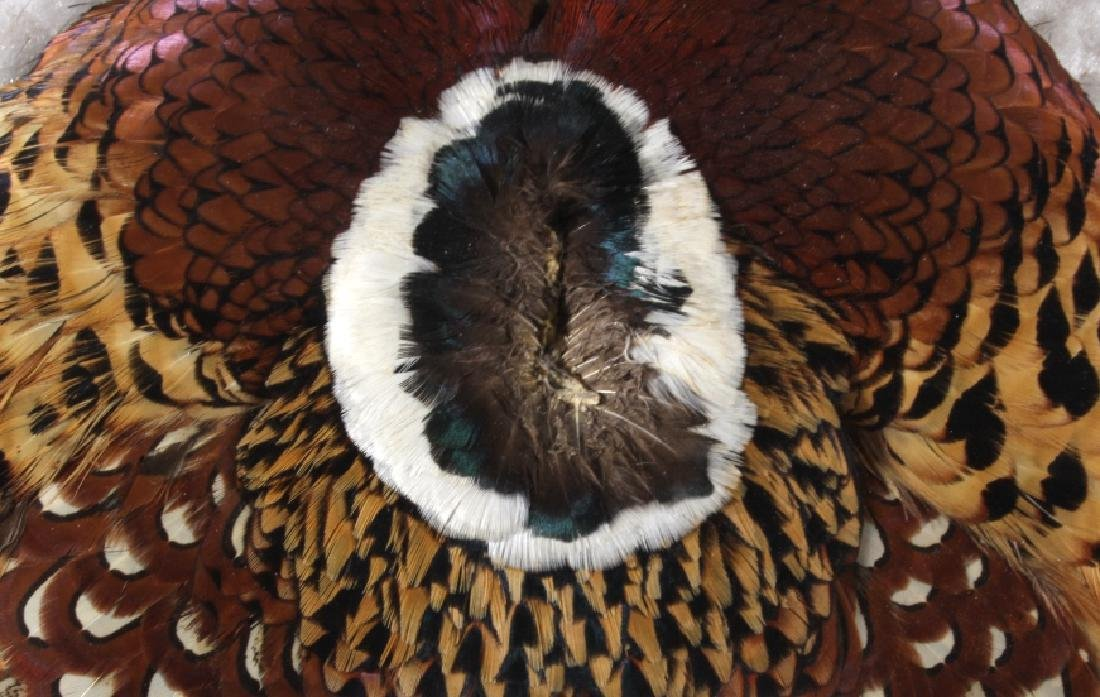 Taxidermy Flat Mount Pheasant - 4